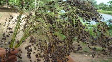 Tra Vinh: Exotic grass variety banned